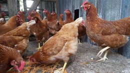 Hens waiting to be fed