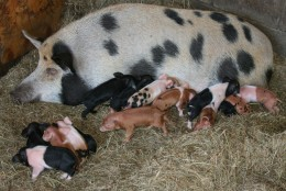 Our sow with her 15 piglets